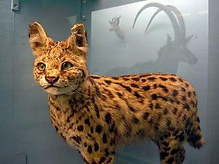 Leopard_cat_2
