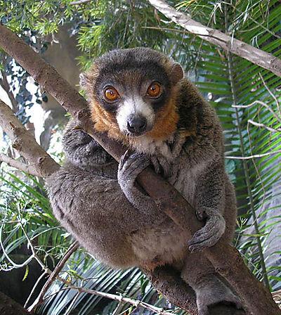 M_lemur
