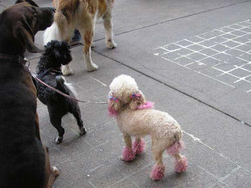 Pink_poodle_2
