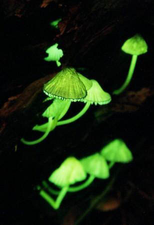 Glowing_mushrooms
