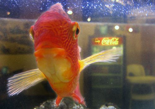 S.cokefish