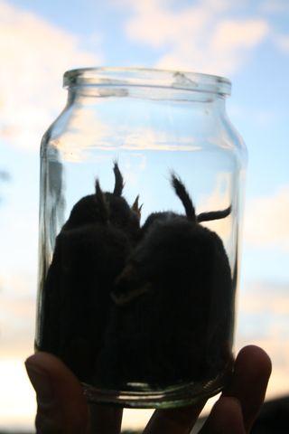 Moleasses
