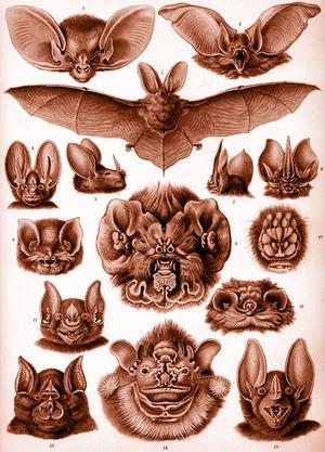 Haeckel_bats_9