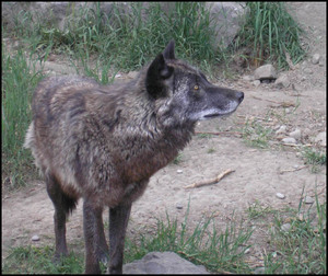 Look_up_wolf