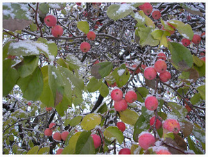 Snow_apples_1