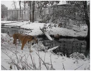 Tiger_snow_1
