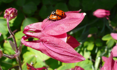 Humpingladybugs
