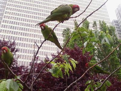 Wild_parrots
