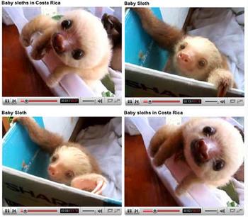 Baby_sloths